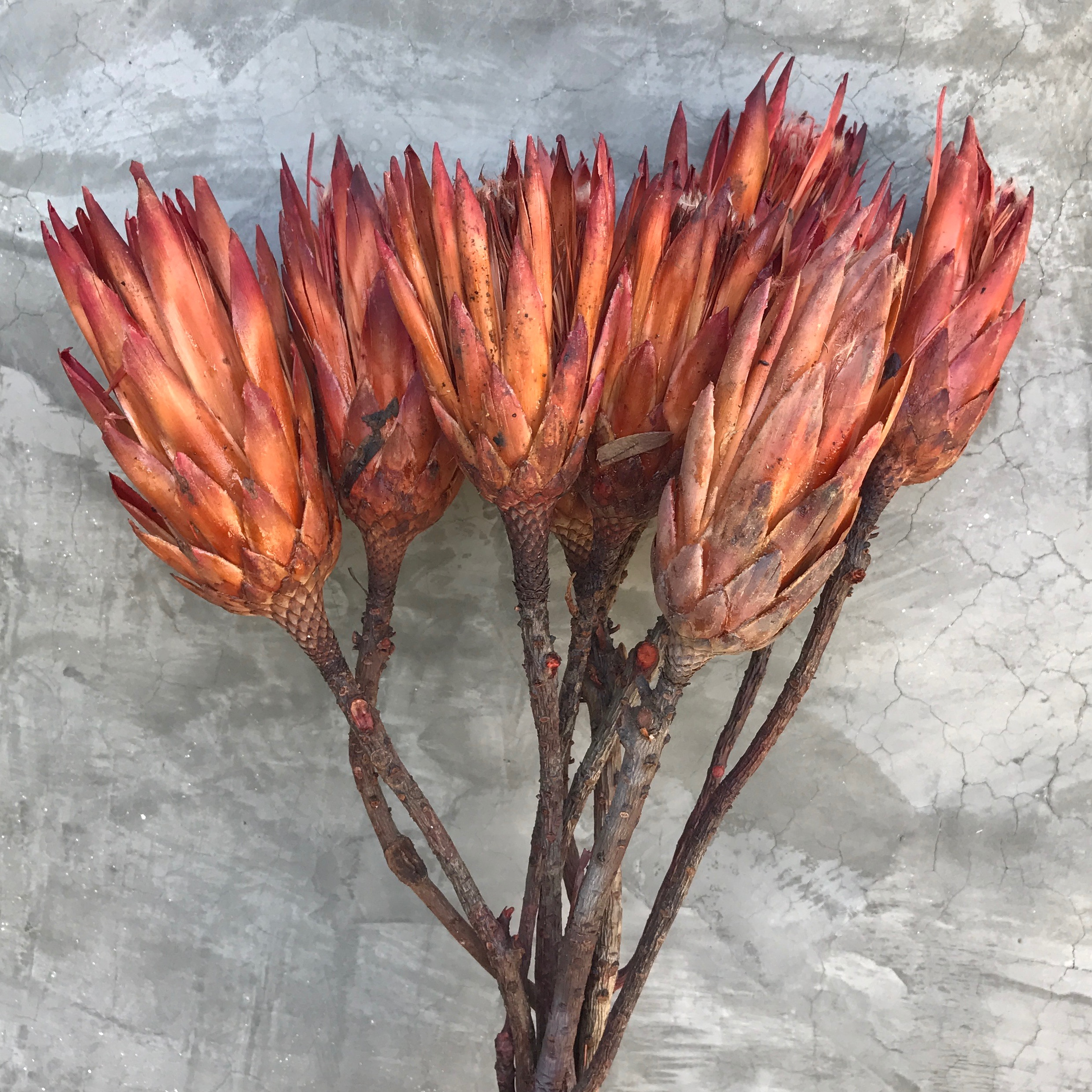 Dried Protea Repens Flowers